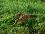 A fox lurking about